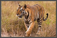 Bengal Tiger - Kanha Tiger Reserve (The Eternity Photography) Tags: india tourism nature look canon nationalpark wildlife tiger safari stare 2009 sanctuary wildlifesafari digitalphotography goldenlight bengaltiger madhyapradesh kanhatigerreserve kanha felidae centralindia wildlifephotography kanhanationalpark indiantiger savethetiger pantheratigristigris maletiger kisli royalbengaltiger kanhawildlifesanctuary santanubanik theeternity pantheratigrisbengalensis tigerinthewild httpwwwfrozenforeternitycomimagesindexphp     royalstare kanhameadow wwwfrozenforeternitycom