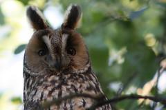 ID Portrait (Cobra_11) Tags: animal canon feather souvenir owl pluma canoneos tier longearedowl feder hayvan ty asiootus ef75300mm waldohreule canoneos450d digitalrebelxsi kulaklormanbaykuu