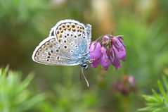 Silver-studded Blue (Will_wildlife) Tags: butterfly lepidoptera newforest plebejusargus silverstuddedblue