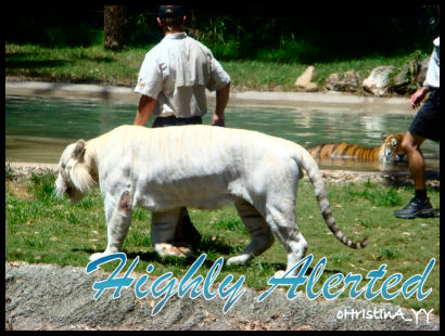 The White Tiger: High Alerted