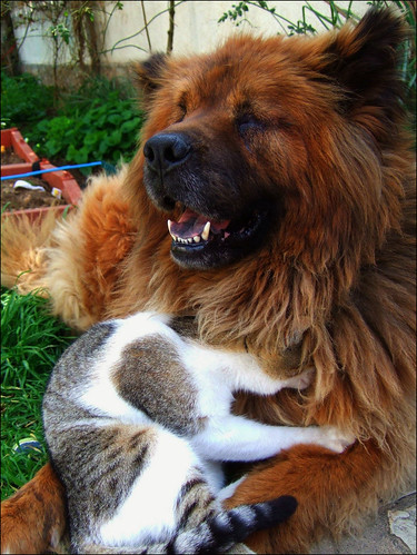 cute kitten and chow chow dog cat pic