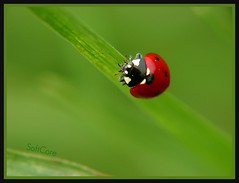 the lady and the blade (Katie Ashdown) Tags: red macro green grass insect flora bokeh ladybug themost