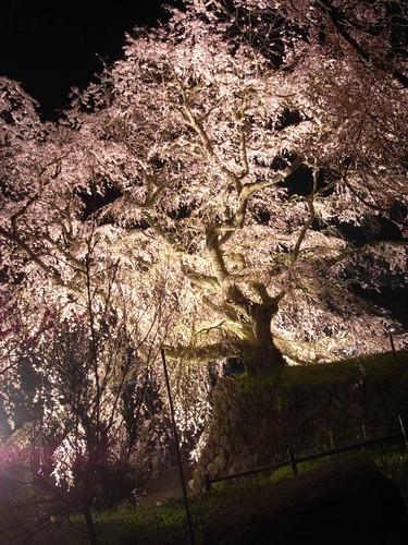 又兵衛桜(ライトアップ)-10