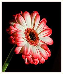 Gerbera red-white (Rainer Fritz) Tags: flowers flower macro gerbera