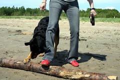 Marie och Wilma leker p Vstra stranden (Bjare) Tags: summer dog dogs strand wilma sweden rottweiler sverige vatten stranden halmstad sommar leker rottis vstra badar