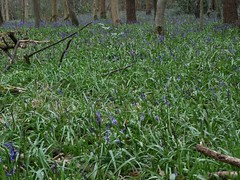 DSC03875 (edwardsgt) Tags: uk flowers bluebells tring
