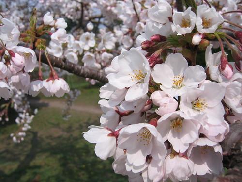 櫻花們很愛擠成堆