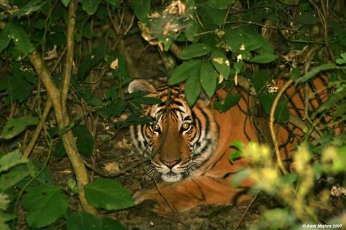 Tiger  (A closeup)