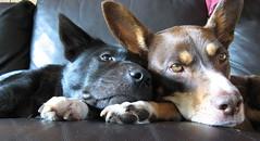 snuggly dogs on couch (cskk) Tags: dog snuggle australian australia couch cassie mocha snuggly kelpie snuggledogs snugglydogs