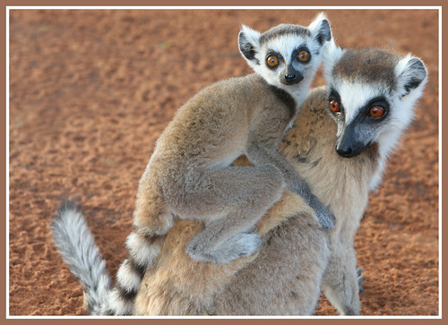 Ringtailed Lemurs in Berenty
