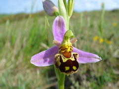Bee Orchid at Durlston