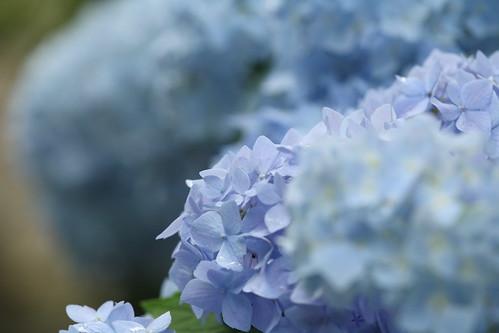 A hydrangea...Blue!