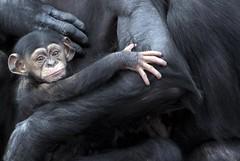 Sightly Sleepy Baby (urbanmenagerie) Tags: cute chimp sydney chimpanzee primate taronga tarongazoo primates naturesfinest specanimal avisittothezoo abigfave specanimalphotooftheday chimpbaby goldstaraward vosplusbellesphotos