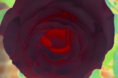 rosa-invertidavalor