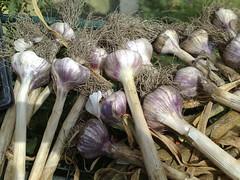 Sunbasked Garlic