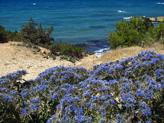 Undulating Blues... (poly_mnia) Tags: flowers blue sea flower color colour green water colors colours thistle athens greece thistles vouliagmeni dearflickrfriend merhaba merhb cardopatiumcorymbosum cardopatumcorymbosum