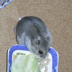 キャベツを食べるコーキ