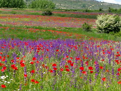 Poppies and Delphinium (Marlis1) Tags: wow spain meadows aragon wildflowers naturesfinest maestrazgo marlis1 wowiekazowie diamondclassphotographer flickrdiamond caadadebenatanduz