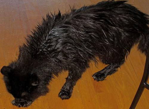Brutus on bath day