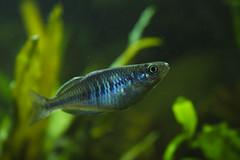 fish melanotaenia boesemani aquaticore