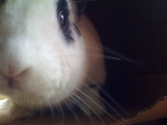 sammy (Geek_chic) Tags: cute rabbit bunny nose whiskers