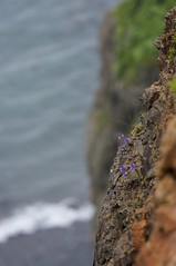 断崖に咲くキクバクワガタ