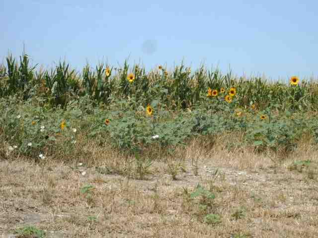 Flowers in a cornfield, Allen, Texas USA