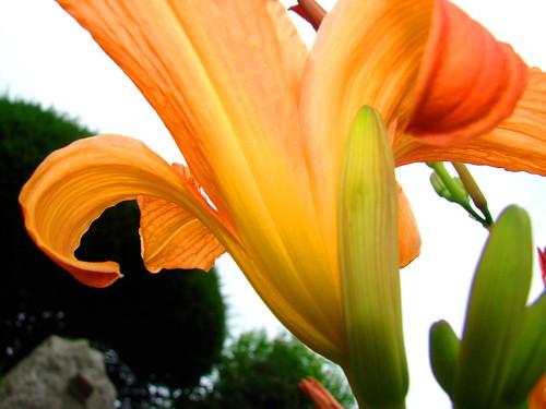 Underneath the Daylilie