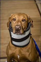 cervical collar dog