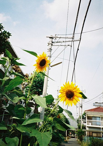 sunflower (AGFA vista 100)