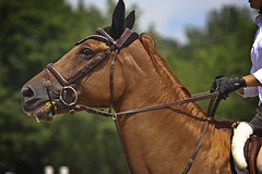 I swear, I don't know who ate the carrots... (Isabelle Ann) Tags: horse art digital caballo cheval jumping vermont photographer digitalart dorset isabelle cavallo cavalo pferd equine equus paard horseshows hunterjumper manchestervt dorsetvt equineart vermontsummerfestival isabelleann isabelleanngreen equestrianart hunterjumpers dorsetsummerfestival equinephotographer dorsethunterjumper hunterjumpershows artistichorse summerfestivall isabellegreen equitationart hunterjumperart dorsethorseshow hunterjumperphotography hunterjumprphotographer isabellegreenphotography isabelleannphotography isabelleannhorses mostbeautifulhorses equineartist hunterjumperphotographer hunterjumperphotograhy