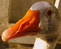 neighbourhood goose (Scorpocat) Tags: turkey istanbul kaz estremità cmwdorange