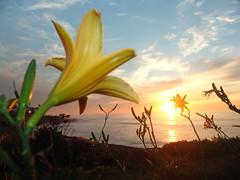 Flowers at Sunset on  La Jolla Coastline (Brandon Kopp) Tags: california travel flowers macro nature sandiego lajolla depthoffield