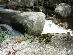 Pesimo camuflaje (Jose J. Lazo) Tags: colores lagarto reptil camuflaje