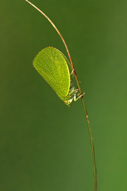 Acanaloniid Planthopper (Acanalonia conica)