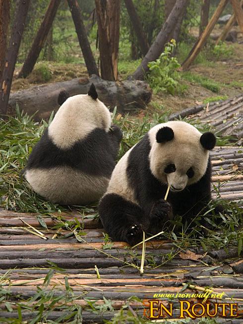 Panda Back to back
