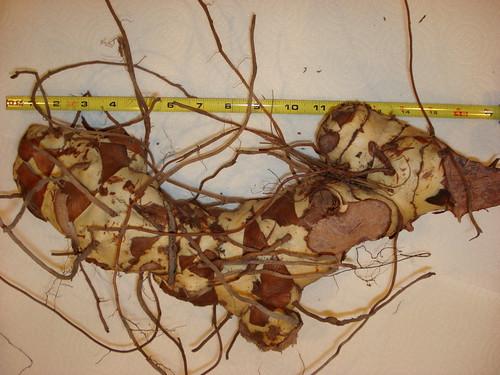 greenbriar root.jpg