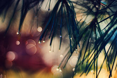 Gleaming (Brent Cameron) Tags: morning plant tree sunshine glitter 50mm drops bush flora bokeh warmth f18
