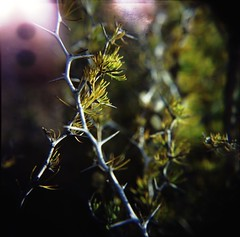 Thorns - Holga Macro (schoeband) Tags: macro 120 6x6 film mediumformat lightleak thorns c41 closeupfilter homedeveloping holgagcfn