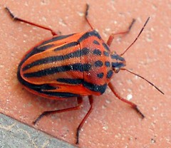 Graphosoma semipunctatum 2 (MantisXxl) Tags: naturaleza macro insect spider fly bugs bee beatle araa escarabajo bicho mosca insecto buzznbugz top20everlasting shiningstar bestflickrphotography natureflowerstreesanimalsetc