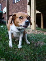 What Are You Doing? (ginfox) Tags: dog brown white beagle grass animal head sit curious paws k9