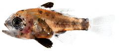 Anglų lietuvių žodynas. Žodis cardinalfish reiškia kardinolas lietuviškai.
