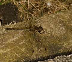 "Common Darter Dragonfly (Sympetrum s(75) • <a style=""font-size:0.8em;"" href=""http://www.flickr.com/photos/57024565@N00/2853297281/"" target=""_blank"">View on Flickr</a>"