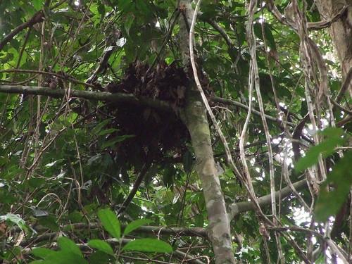 bonobo nest 4