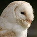 Bramble Barn Owl