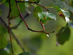 rainy morning (Jonathan Harel) Tags: green water leaves germany geotagged drop blackforest raindrop titisee schwartzwald img6436 rieslehofweg38 geo:lat=47901160 geo:lon=8159001