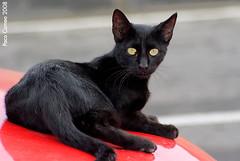 Gato (Paco Cameo) Tags: cats cat sony gatos alicante gato 200 alpha a200 alacant bestofcats