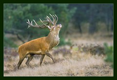 The Bold and the Beautiful (hvhe1) Tags: nature animal bravo stag searchthebest wildlife deer reddeer veluwe hogeveluwe rutting naturesfinest edelhert supershot interestingness32 specanimal animalkingdomelite hvhe1 hennievanheerden bronst