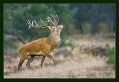 The Bold and the Beautiful (hvhe1) Tags: nature animal bravo stag searchthebest wildlife deer reddeer veluwe hogeveluwe rutting naturesfinest edelhert supershot interestingness32 specanimal animalkingdomelite hvhe1 hennievanheerden bronst