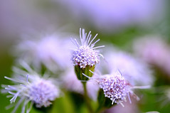 Only You (naruo0720) Tags: plant flower macro nature closeup nikon bokeh purpleflower d300 ageratum golddragon abigfave platinumphoto ultimateshot ysplix theunforgettablepictures overtheexcellence colourartaward rubyphotographer